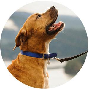 Adoptable dog on a leash