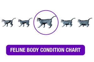 Feline Body Condition Chart